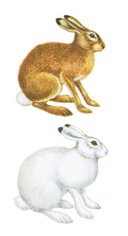 Картинки зайца зимой для детей распечатать цветные